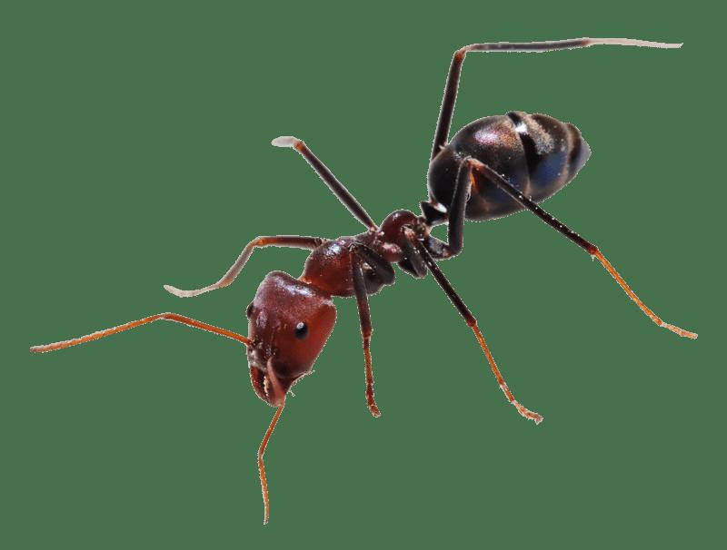 ants bugs control