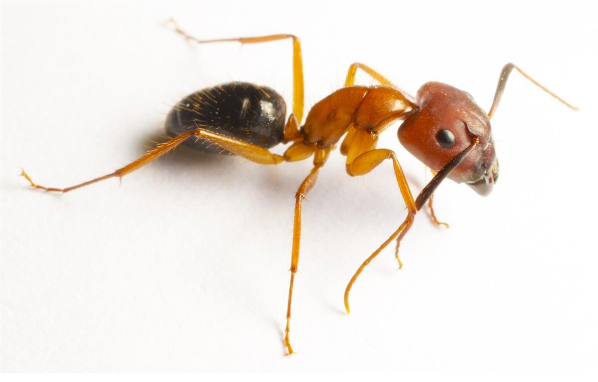 Ant Service IPM Specialist