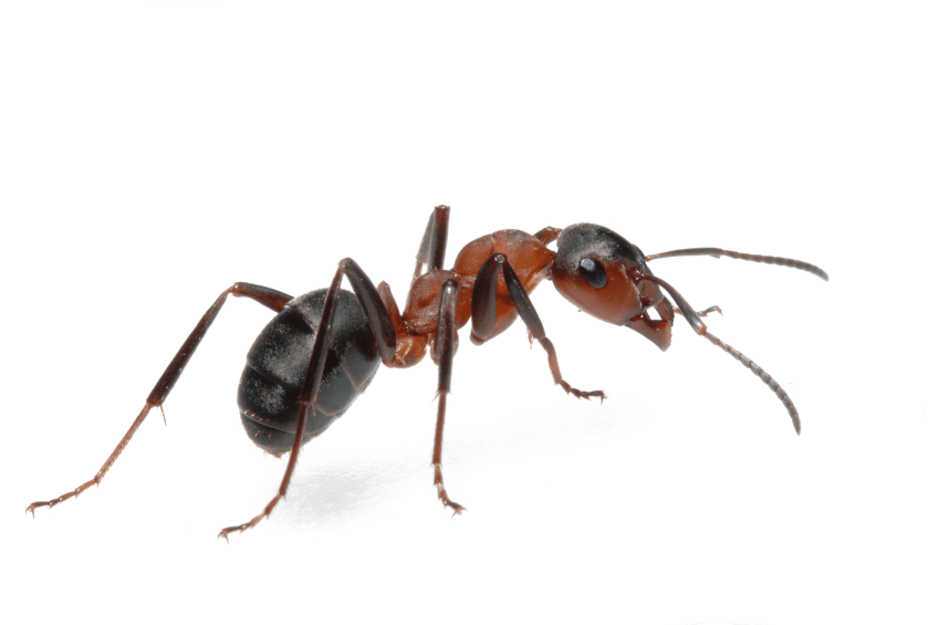 ants bugs control