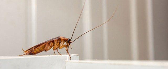 Cockroach Pest Service IPM Specialist